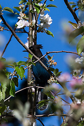 Stellar's Jay (Cyanocitta stelleri) in a flowering tree, Hidden Villa, Los Altos Hills, California, United States of America