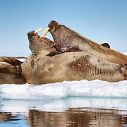 A walrus (Odobenus rosmarus) demonstrating use of its tusks. There were no serious injuries resulting from this inter-walrus discussion. Both individuals settled down and went back to sleep.