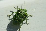 Green stink bug (Acrosternum hilare) crawls along porch handrail in Kirkwood, Missouri.
