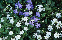 Vinca minor (Periwinkle)