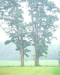 Fog hazed trees