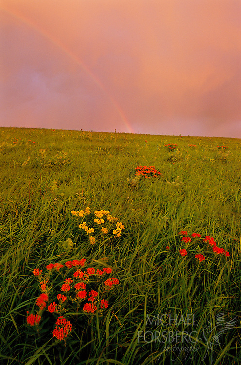Konza Prairie, Kansas.  A rainbow brings hope at sunrise, signaling the end of an early morning thundershower while waning winds from the passing storm set in motion a hillside of butterfly milkweed, one of many colorful wildflowers that reach their peak bloom in early summer in the Flint Hills of Kansas. The tallgrass prairies of the Flint Hills stretch nearly unchecked in a thin line down the eastern third of Kansas and into northern Oklahoma, the largest intact tallgrass prairie landscape left in North America.