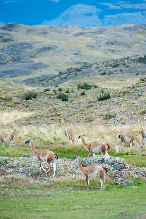 Guanacos, Punta Arenas Chile