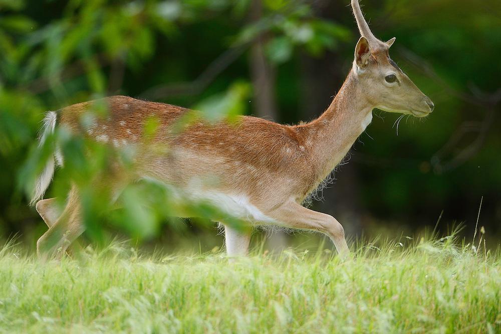 Wild, native original Fallow deer, Dama dama, Studen Kladenets reserve, Eastern Rhodope mountains, Bulgaria