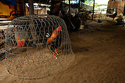 A rooster outside a home on Binh Thanh Island, Vietnam.