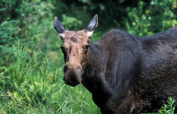 Errol, NH.A cow moose in a marshy area next to the Androscogging River.  13 Mile Woods.  Northern Forest.  Great North Woods.