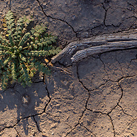 100213       Cable Hoover<br /> <br /> A young phacelia plant sprouts from the dry surface of the hills outside Mountain View Wednesday.