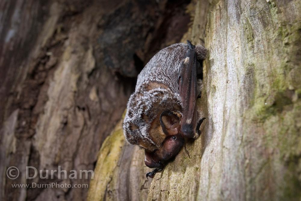 A hoary bat (Lasiurus cinereus) day roosting inside a tree snag. Northern Oregon. © Michael Durham / www.DurmPhoto.com