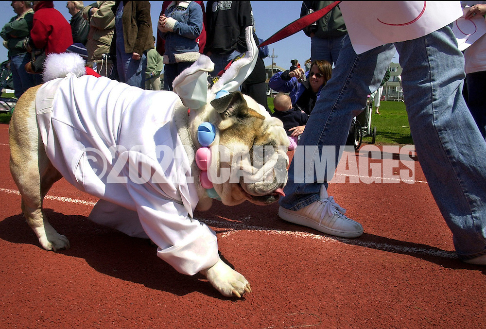 OCEAN CITY, NJ - APRIL 19: Butchy, an English Bulldog, parades wearing a tuxedo coat, during the Woofin' Paws Easter Pet Parade and Fashion Show April 19, 2003, in Ocean City, New Jersey. 65 cats, dogs, guinea pigs, rabbits, and a mexican hairless rat competed in swimsuit, best dressed, best tail wagging, best easter bonnet, and best of show categories for a first, second, or third place ribbon. (Photo by William Thomas Cain/Getty Images)