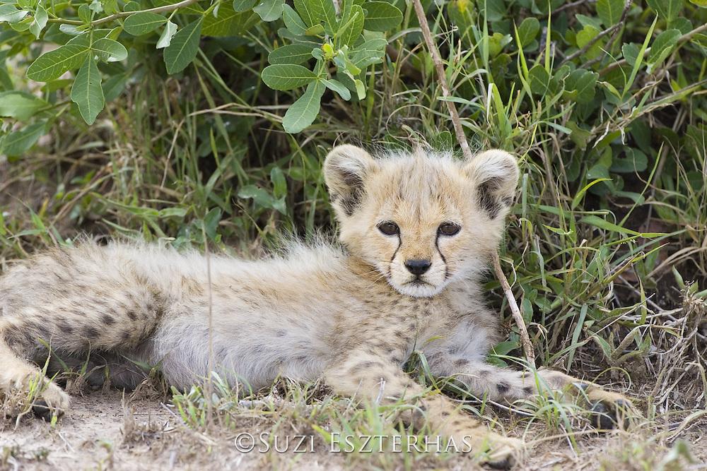 Cheetah<br /> Acinonyx jubatus<br /> 8 week old cub(s)<br /> Maasai Mara Reserve, Kenya