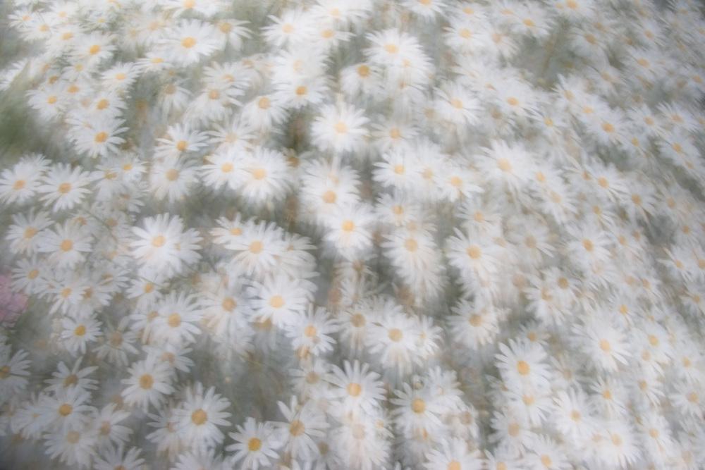 Daisies, Carmel, California