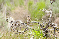 A Lark Sparrow perched on dead sagebrush in the west desert of Utah.