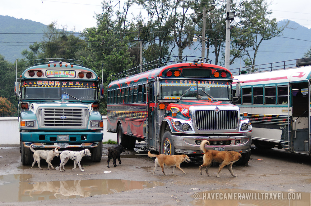 A group of dogs mill around the chicken buses behind the Mercado Municipal (town market) in Antigua, Guatemala. From this extensive central bus interchange the routes radiate out across Guatemala. Often brightly painted, the chicken buses are retrofitted American school buses and provide a cheap mode of transport throughout the country.