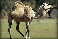 Australian feral camel, Avon Valley, Western Australia