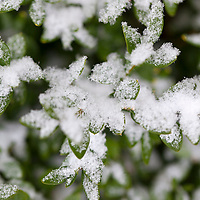 Snow on Boxwood, a broadleaf evergreen shrub.
