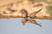 Laughing Dove (Spilopelia senegalensis) drinking water in the desert, negev desert, israel. The Laughing Dove is a common resident breeder in Sub-Saharan Africa, the Middle East and parts of the Indian Subcontinent. Photographed in June