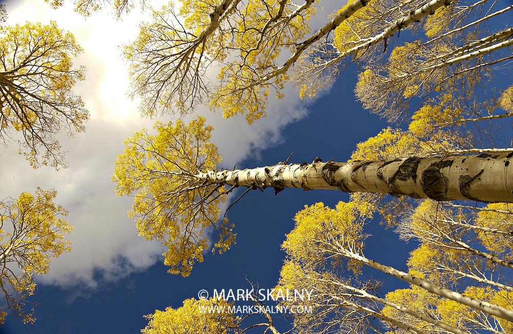 Golden Aspen grove shot near Flagstaff, Arizona on an Autumn day.