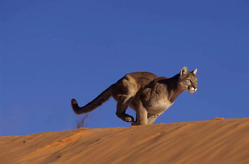 Mountain Lion or Cougar, (Felis concolor) Running in sand dunes in Slot Canyons in northern Arizona. Captive Animal.