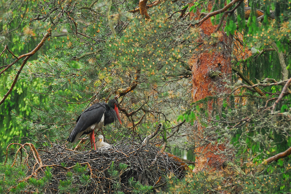 Latvia; Black Stork; Black Stork nest; Ciconia nigra