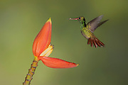 Rufous Tail <br />