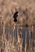 Male Red Wing Blackbird on cattail at Dead Creek, Addison, VT, early Spring