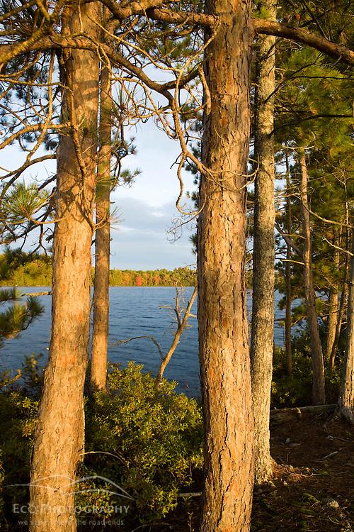 Pine trees on the shoreline of Seboeis Lake near Millincocket, Maine.