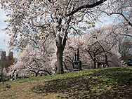 Cherry blossoms on Pilgrim Hill in Central Park
