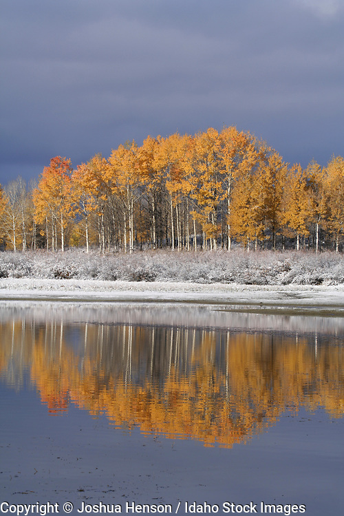 Wyoming. Grand Teton National Park. Aspen trees at Oxbow Bend after an autumn snowfall.