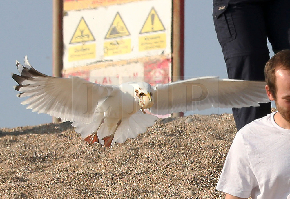 """© Licensed to London News Pictures. 20/04/2019. West Bay, UK.  A gull steals ice cream form the hand of Carol Vincent while on West Bay Beach on Dorset, south west England. After losing the ice cream, Carol said """" I only had 3 licks and it was gone."""".  Photo credit: Jason Bryant/LNP"""