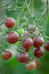 Tomato 'Chocolate Cherry'