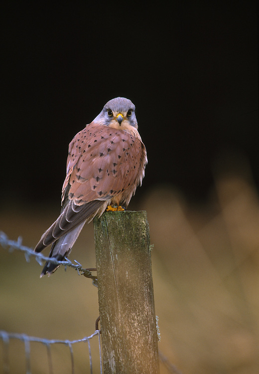 Male kestrel perched on fence post