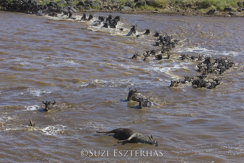 Wildebeest<br /> Connochaetes taurinus<br /> Maasai Mara Reserve, Kenya<br /> Wildebeest crossing the Mara River with carcass in foreground