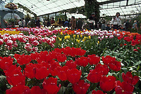May 1979, Keukenhof Gardens, Lisse, The Netherlands --- Tourists walk among multicolored tulips in the greenhouse of the Keukenhof Gardens.   Lisse, The Netherlands. --- Image by © Owen Franken/CORBIS