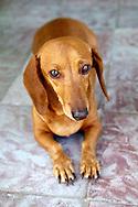 Wiener dog in Holguin, Cuba.