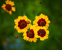 Coreopsis (Tickseed) Flower. Image taken with a Nikon D850 camera and 105 mm f/2.8 VR macro lens