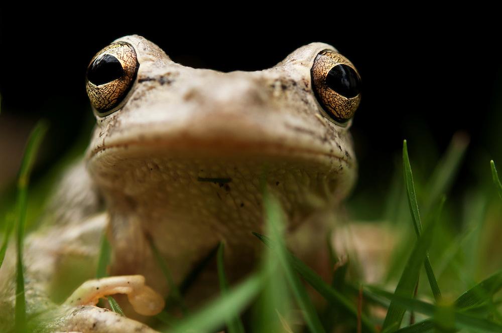Cuban tree frog on Harbour Island, Bahamas