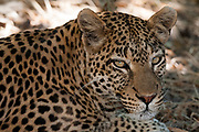 Portrait of a leopard, Panthera pardus.