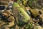 Summer rockpool life at Llanddwyn Beach on Anglesey in North Wales.