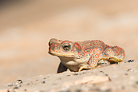 At home in the heat of the American Southwest, this red-spotted toad slumbers throughout the driest parts of the year, and emerges with the rains that come in spring and summer. This one was photographed in the Moab Desert in Eastern Utah.
