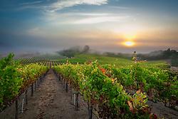 The morning fog rolls in over Rochioli vineyards