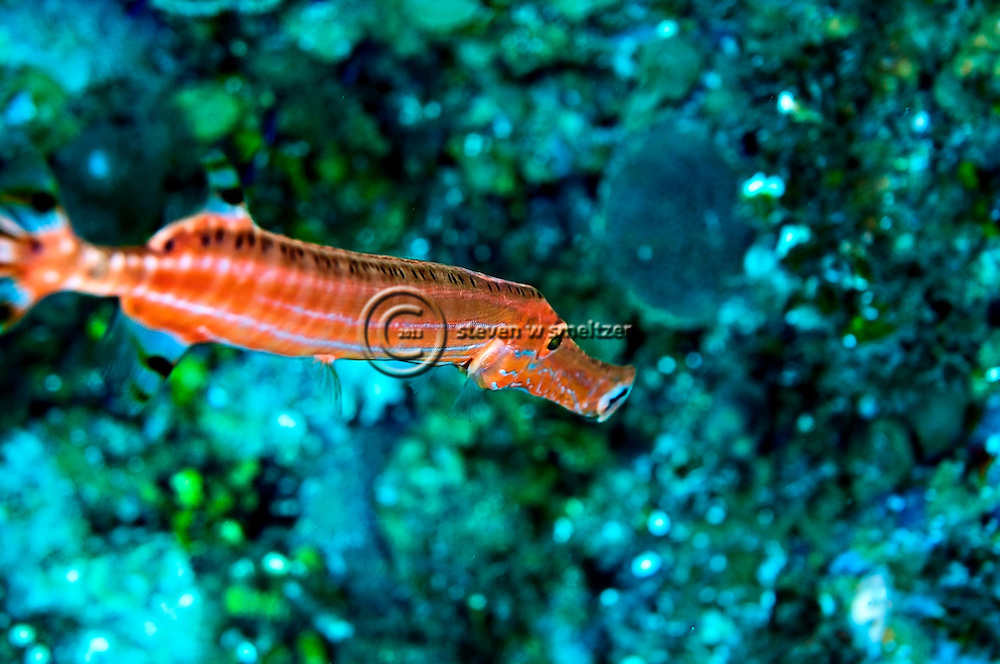 Close up Trumpetfish, Aulostomus maculatus, Valenciennes, 1837, Grand Cayman
