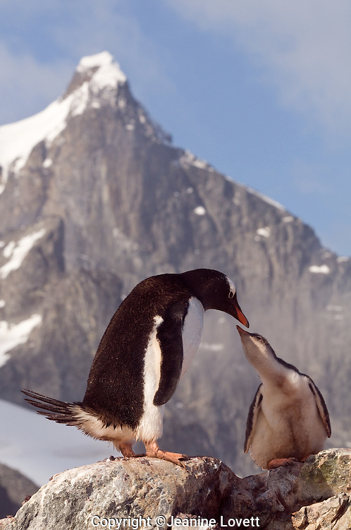 Gentoo Penguin chick asks for food from its parent, high on the rocks with a mountain in the background.