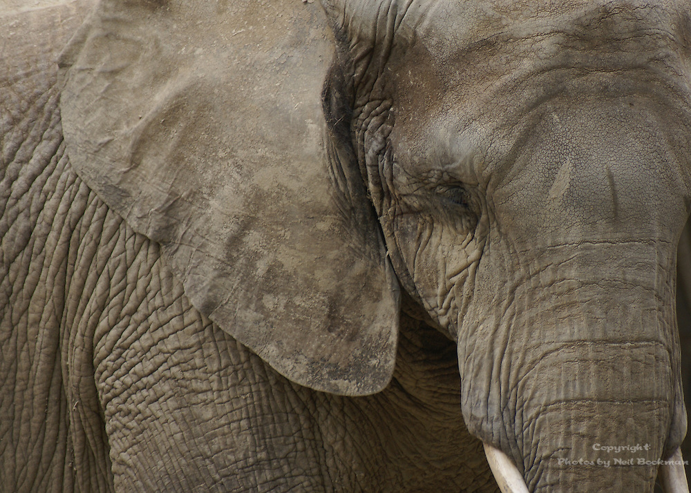 A study in texture, this elephants hide is a maze of wrinkles and crevices.
