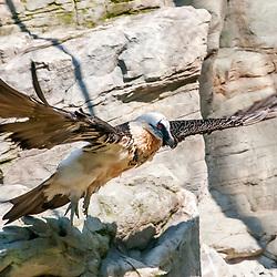 Abutre-barbudo (Gypaetus barbatus). Registro feito em 2009. Animal em Cativeiro.<br /> <br /> <br /> <br /> ENGLISH: Bearded vulture (Gypaetus barbatus). Picture made in 2009. Captive animal.