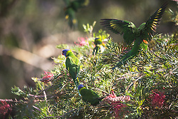 A flock of Rainbow Lorikeets (Trichoglossus haematodus) feeding on a Grevillea bush at Killcare in NSW.