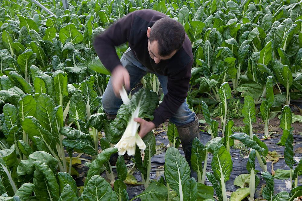 sarl cossé - maraîcher - récolte des blettes