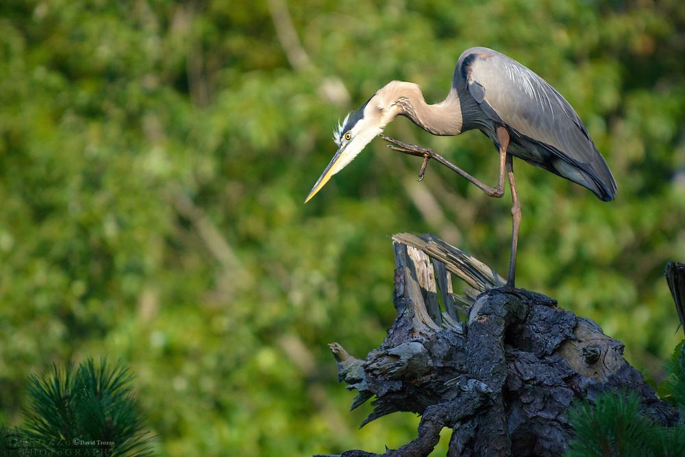 Great blue heron, Ardea herodias, Annapolis, Maryland, USA