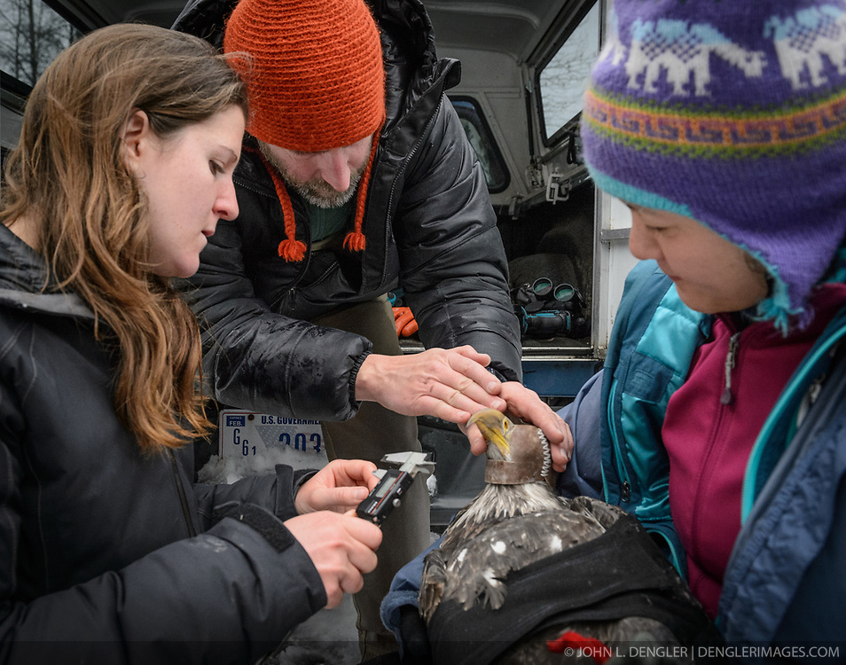 """Steve Lewis, Raptor Management Coordinator, U.S. Fish & Wildlife Service (center), instructs Rachel Wheat, a graduate student at the University of California Santa Cruz (left) how to place calipers to take length and depth measurements of the beak of a bald eagle (Haliaeetus leucocephalus) captured in the Alaska Chilkat Bald Eagle Preserve. Beak measurements and toe claw (hallux) length are two measurements that help determine the gender of a bald eagle. Female bald eagles typically have larger beaks, feet and talons. This reversal of gender size is called reverse sexual size dimorphism. Wheat is conducting a bald eagle migration study of eagles that visit the Chilkat River for her doctoral dissertation. She hopes to learn how closely eagles track salmon availability across time and space. The bald eagles are being tracked using solar-powered GPS satellite transmitters (also known as a PTT - platform transmitter terminal) that attach to the backs of the eagles using a lightweight harness. Assisting Wheat with the measurements by holding the eagle is Yiwei Wang, graduate student, University of California Santa Cruz (right). The latest tracking location data of this bald eagle known as """"2Z"""" can be found here: http://www.ecologyalaska.com/eagle-tracker/2z/ . During late fall, bald eagles congregate along the Chilkat River to feed on salmon. This gathering of bald eagles in the Alaska Chilkat Bald Eagle Preserve is believed to be one of the largest gatherings of bald eagles in the world."""