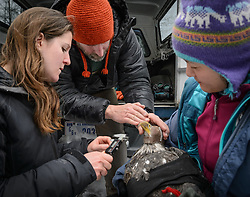 "Steve Lewis, Raptor Management Coordinator, U.S. Fish & Wildlife Service (center), instructs Rachel Wheat, a graduate student at the University of California Santa Cruz (left) how to place calipers to take length and depth measurements of the beak of a bald eagle (Haliaeetus leucocephalus) captured in the Alaska Chilkat Bald Eagle Preserve. Beak measurements and toe claw (hallux) length are two measurements that help determine the gender of a bald eagle. Female bald eagles typically have larger beaks, feet and talons. This reversal of gender size is called reverse sexual size dimorphism. Wheat is conducting a bald eagle migration study of eagles that visit the Chilkat River for her doctoral dissertation. She hopes to learn how closely eagles track salmon availability across time and space. The bald eagles are being tracked using solar-powered GPS satellite transmitters (also known as a PTT - platform transmitter terminal) that attach to the backs of the eagles using a lightweight harness. Assisting Wheat with the measurements by holding the eagle is Yiwei Wang, graduate student, University of California Santa Cruz (right). The latest tracking location data of this bald eagle known as ""2Z"" can be found here: http://www.ecologyalaska.com/eagle-tracker/2z/ . During late fall, bald eagles congregate along the Chilkat River to feed on salmon. This gathering of bald eagles in the Alaska Chilkat Bald Eagle Preserve is believed to be one of the largest gatherings of bald eagles in the world."