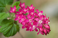 Red-flowering Currant (Ribes sanguineum) North Cascades Washington